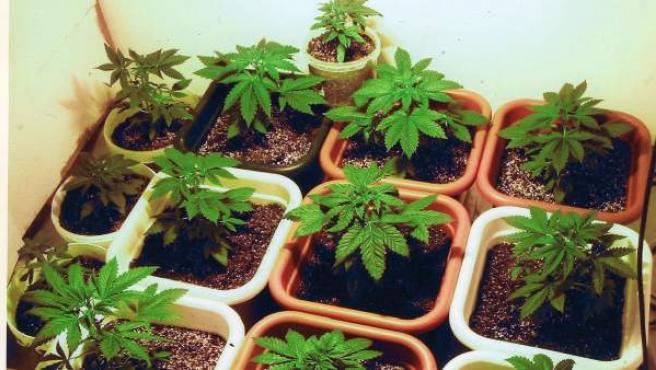 Imagen de varias plantas de cannabis.