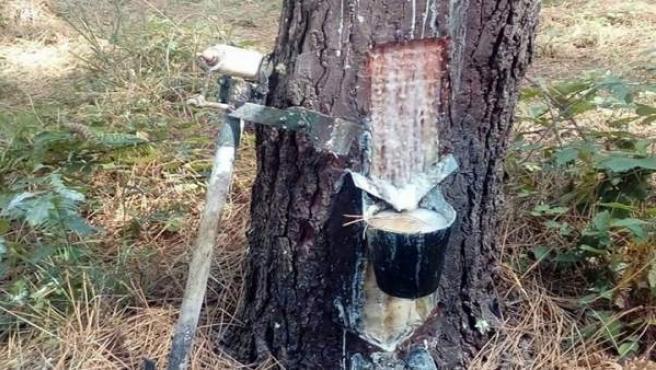 Resinado de árbol