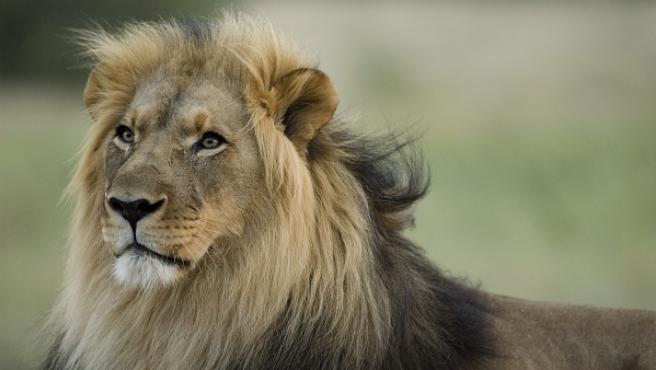 Un león en una reserva natural en Tanzania.