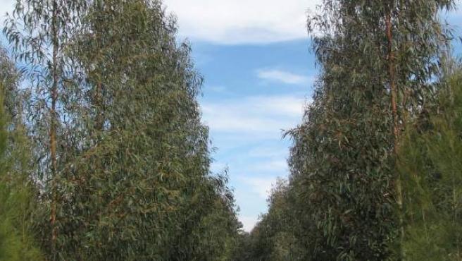 Certifican el uso energetico de un tipo de eucalipto en Huelva.