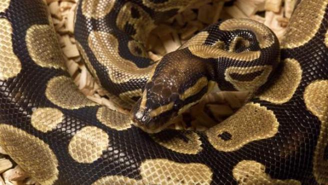 Imagen de archivo de una serpiente pitón.
