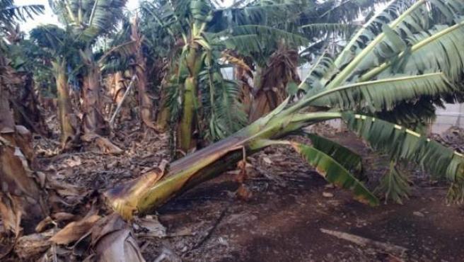 Plataneras dañadas por temporal de viento