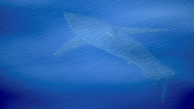 Un tiburón blanco, de cinco metros de longitud, avistado al sur de Mallorca.
