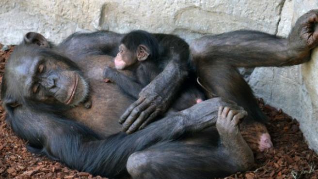 Nace una cría de chimpancé en Bioparc.