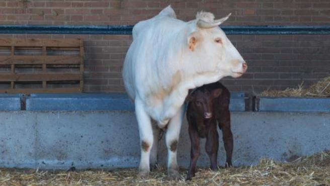 Una vaca y su ternero.