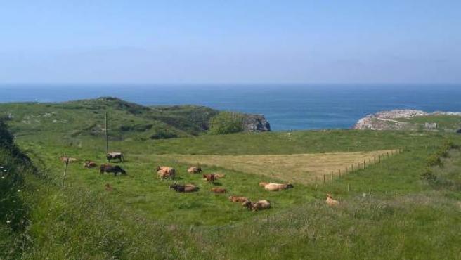 Vacas, Asturiana de los valles, Rural, costa asturiana, playa de Cue en Llanes,
