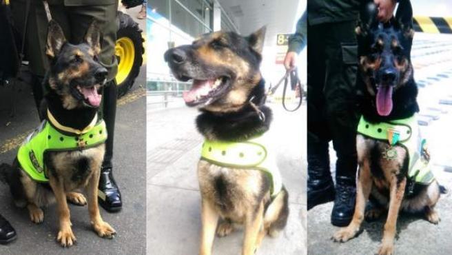 Sombra, la perra antidrogas amenazada por los narcos en Colombia.