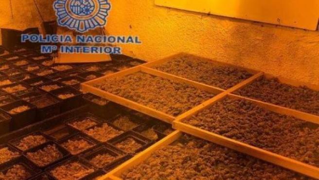 Plantación de marihuana indoor en Callosa d'en Sarrià