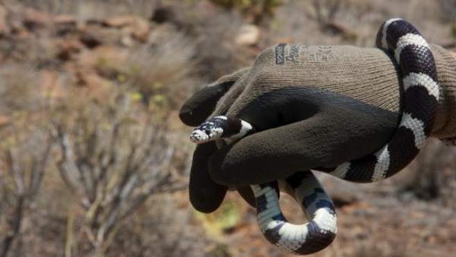 Serpiente anillada