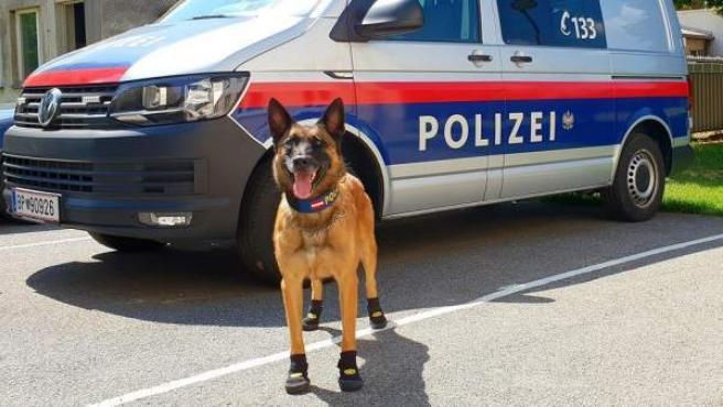Perro de la Policía de Viena, con zapatos contra el calor.