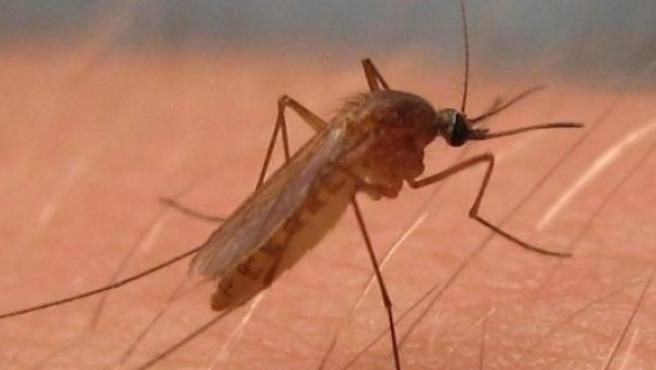 Culex pipiens, mosquito del virus del Nilo Occidental.