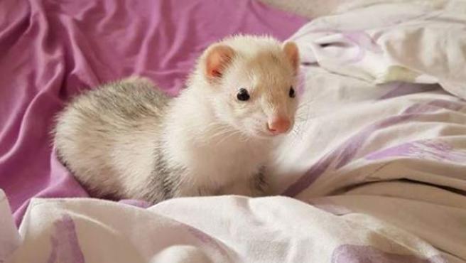 Hurón albino de menos de un año.