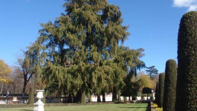 Imagen del ahuehuete del Retiro, el árbol más antiguo de la capital.
