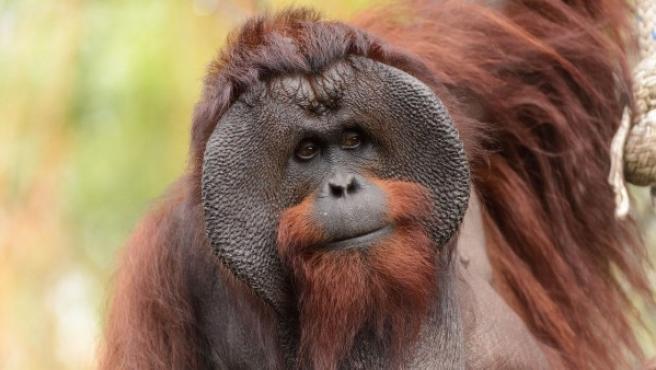 Ejemplar de orangután de Borneo macho.