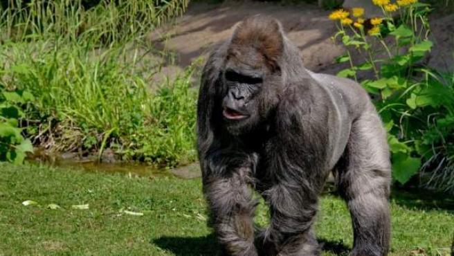 Muere Fritz, el gorila más viejo de Europa.