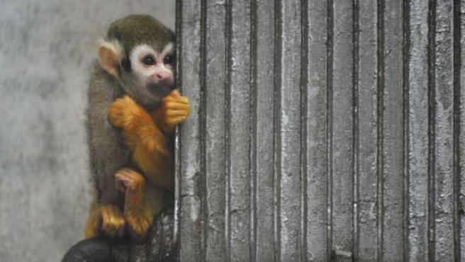 Un ejemplar de mono ardilla en un zoo en Qingdao.