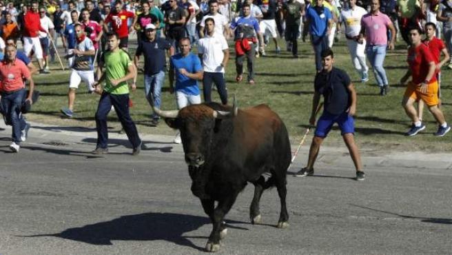 El festejo del Toro de la Vega en Tordesillas, reconvertido en la suelta de un astado por el campo sin muerte en público.