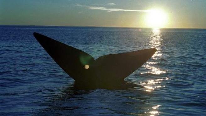 La cola de una ballena franca austral emerge de las aguas del Océano Atlántico, cerca de Puerto Pirámide, a unas 1.000 millas al sur de Buenos Aires.