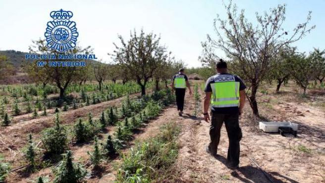 Algunas de las plantas de marihuana encontradas