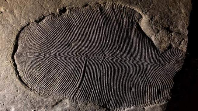 Fósil de un ejemplar de Dickinsonia, animal quer habitó la Tierra hace unos 558 millones de años.