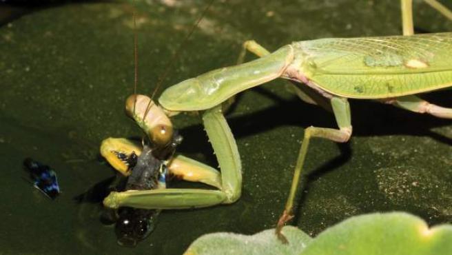 Imagen de una mantis religiosa devorando un pez.