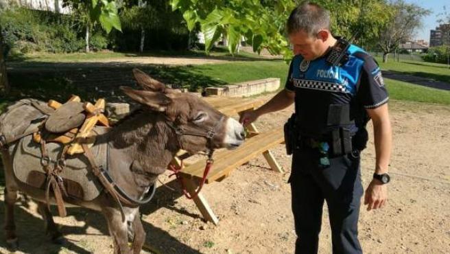 Burro que un peregrino del Camino de Santiago dejó 'aparcado' un burro en un parque de Valladolid.