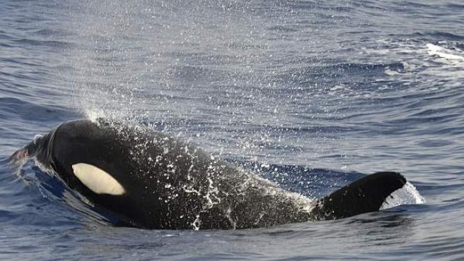 Fotografía de una orca en la isla de El Hierro, facilitada por el Grupo de investigación de Cetáceos de la Universidad de La Laguna.
