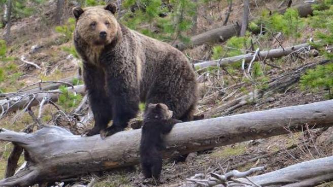 Un oso grizzly del parque Yellowstone, con su cría.