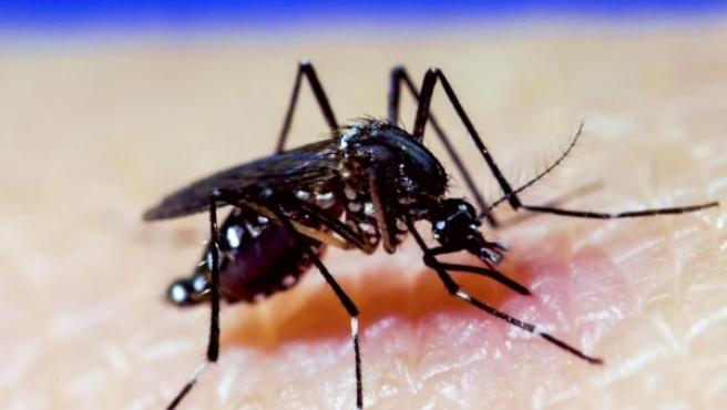 Mosquito A. Aegypti.