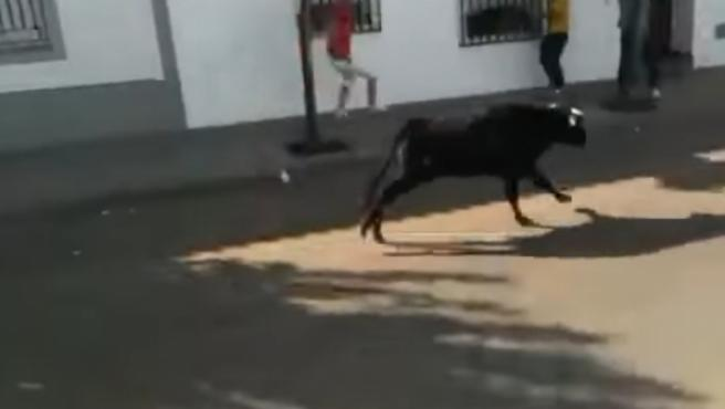 Encierro de vaquilla en Valdelacalzada.