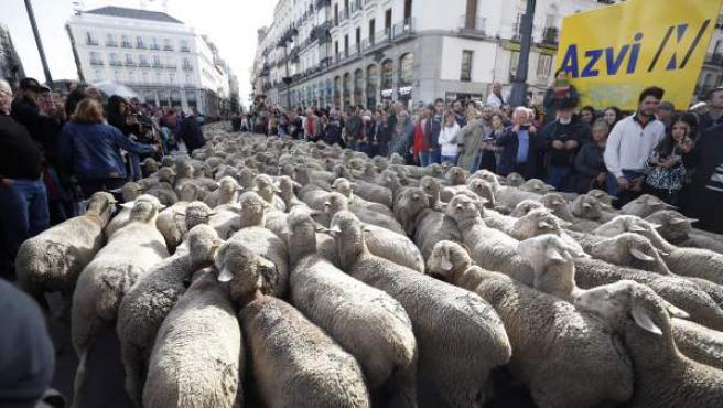 Los rebaños de ovejas pasan por la Puerta del Sol de Madrid con motivo de la Fiesta de la Trashumancia.