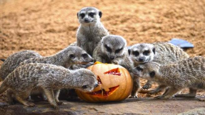 Las suricantas disfrutan de su calabaza rellena