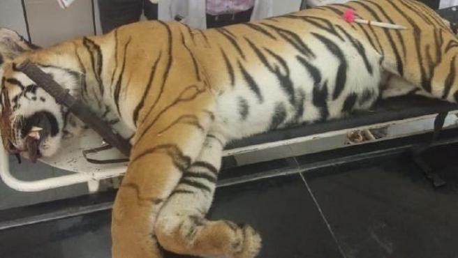 Imagen de la tigresa Avni en el Centro de Rescate de Gorewada en Nagpur.