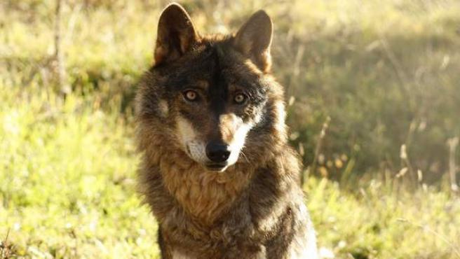 Un lobo ibérico fotografiado en condiciones de semilibertad.