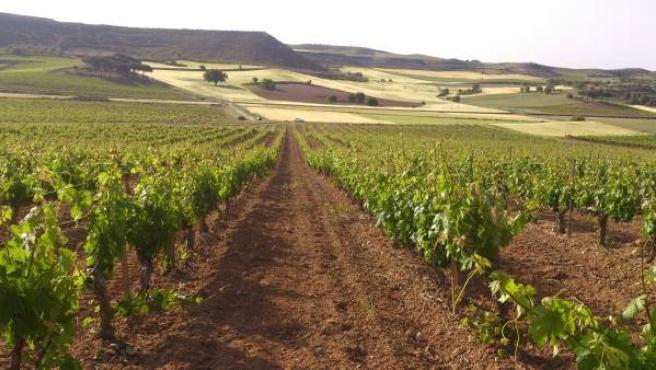 Viñedo Ribera del Duero de Bodegas Torres