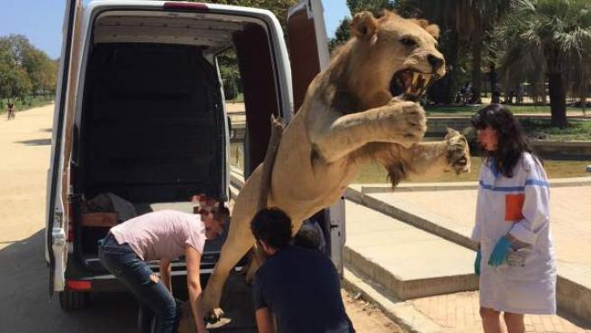 El león disecado intervenido.
