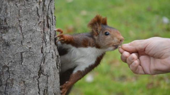 Fotografía facilitada por la Asociación de Amigos del Retiro de una ardilla en el parque del Retiro.
