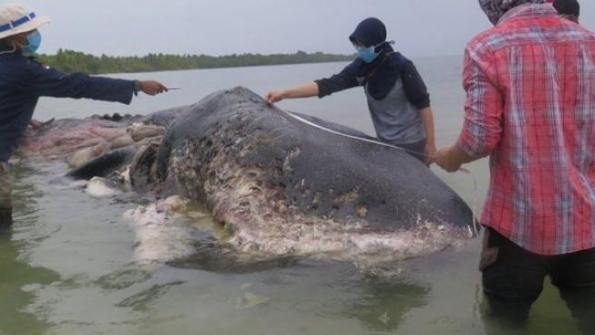 Imagen del cachalote varado en la isla de Kapota, Indonesia.