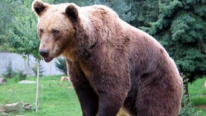 Imagen de un oso pardo en los Pirineos.