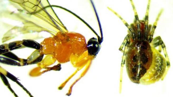 Avispa de la especie Zatypota descubierta por por investigadores de la Universidad de British Columbia.
