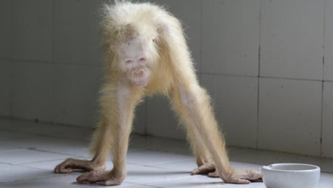 Imagen facilitada por la Fundación para la Supervivencia del Orangután de Borneo (BOSF) que muestra a Alba, el primer ejemplar de orangután albino que se conoce