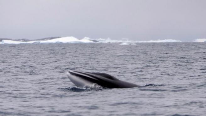 Japón cazó en 2018 hasta 50 ballenas minke en el área marina protegida del Mar de Ross, lo cual fue denunciado por el Fondo Mundial para la Naturaleza.