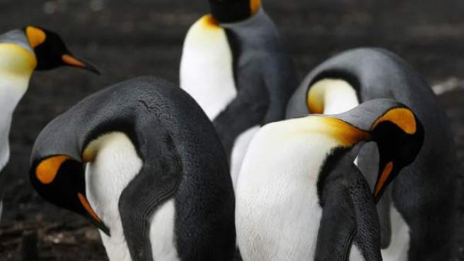Un grupo de pingüinos Rey en Bluff Cove Lagoon, Islas Malvinas, sitio conocido por albergar un gran número de estos animales.