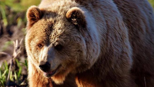 Un oso pardo.