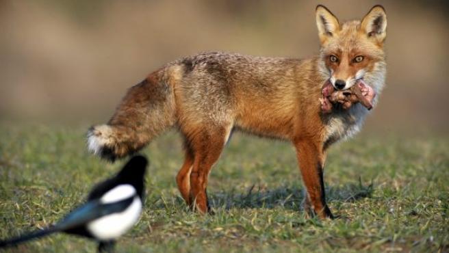 Un zorro rojo (Vulpes vulpes) y a una urraca (Pica pica), frente a frente en un prado cerca de Tamasi (Hungría).
