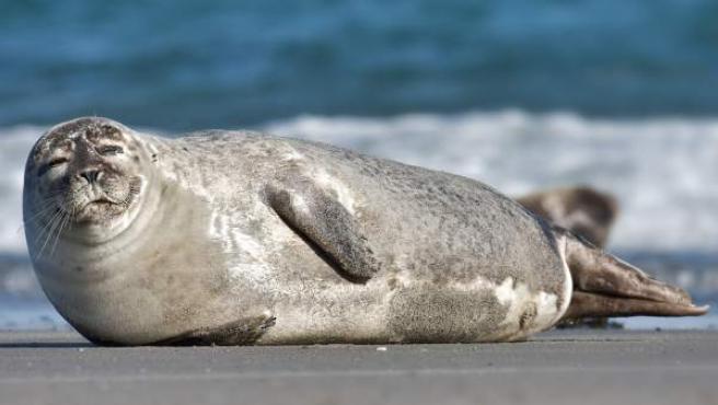 Un ejemplar de foca común, phoca vitulina.