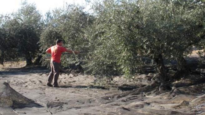 Vareado de olivos en la DOP Baena