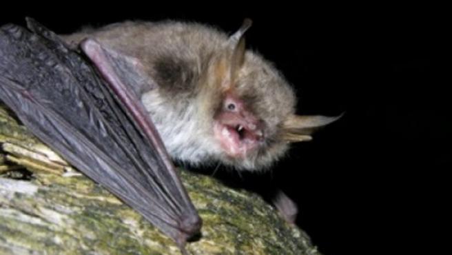 La nueva especie de murciélago descubierto en Europa, el ratonero críptico.