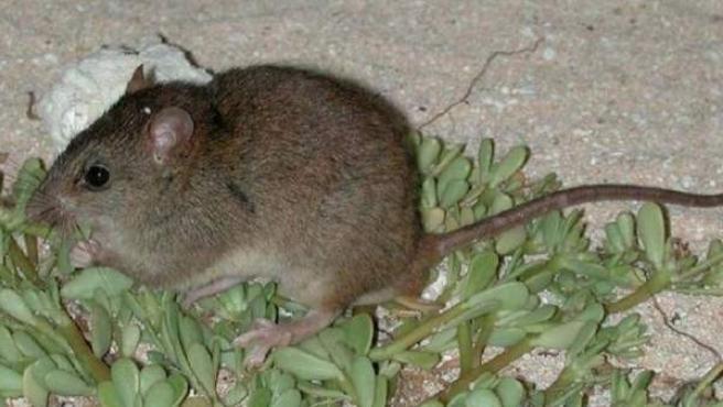 Melomys rubicola, primer mamífero en extinguirse por culpa del cambio climático.