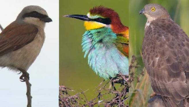 Aves que se alimentan de la avispa asiática.